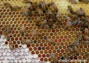 """Rooftop Honeycomb"" - Urban Apiaries, PA || (c)2012 Lauren Mandel"