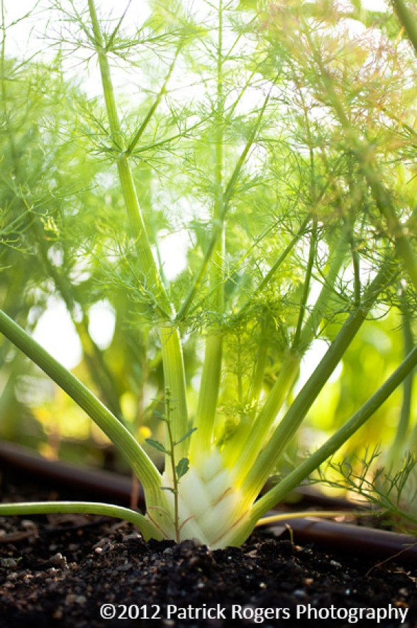 """""""Magnificent Fennel"""" - Ledge Kitchen & Drinks, MA 