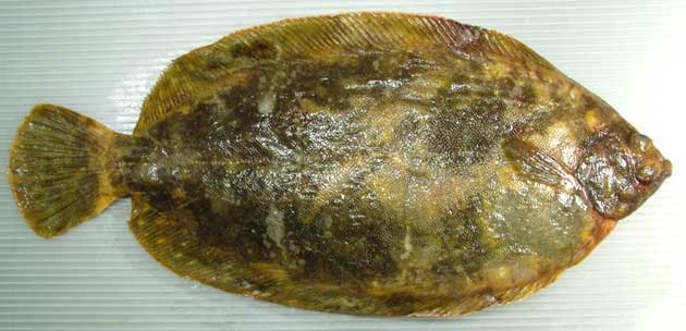 Nameta Garei(ナメタガレイ)/Slime Flounder