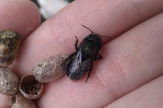 Newly hatched mason bee.