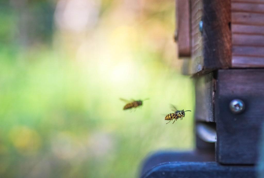 Wasps attacking hive.