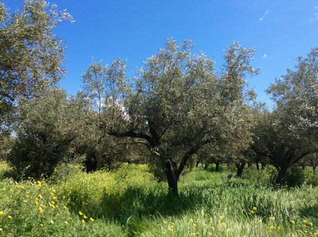 olive trees in springtime