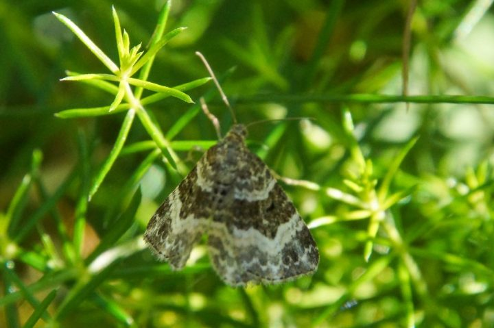 Almindelig bladmåler, insekter