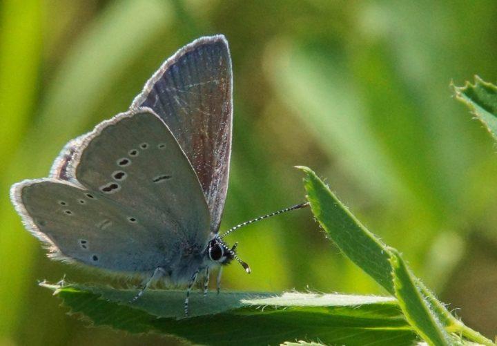 kløverblåfugl, insekter
