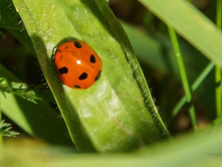 mariehøne, insekter