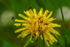 Insekter på tusindstråle