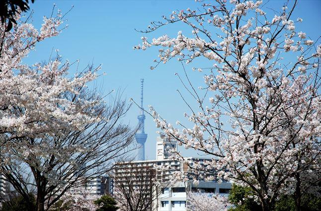 小松川千本桜 BBQ ゴードン さくら