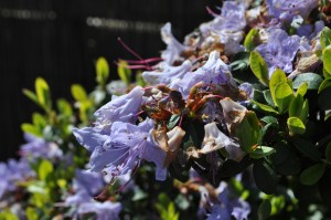rhododendron(1)