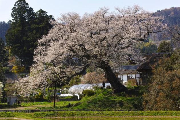 佐渡の法乗法の桜 phot by Sei Ebina