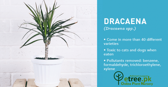 Dracaena Plant benefits, Air Purifying Plants in Pakistan by eTree.pk