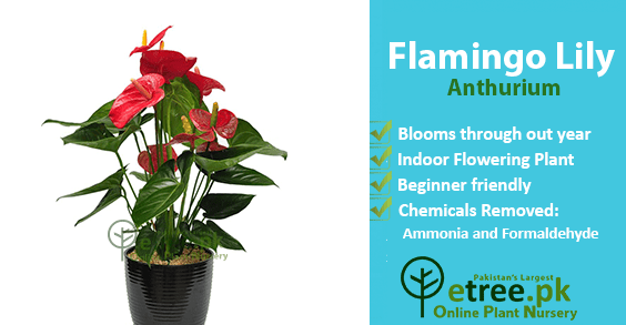 Flamingo Lily benefits, Air Purifying Plants in Pakistan by eTree.pk