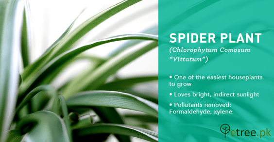 Spider Plant benefits, Air Purifying Plants in Pakistan by eTree.pk