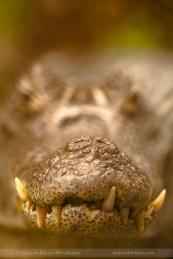caiman-costarica