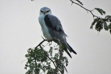 Black-shouldered Kite. I have not seen this species in the Philippines yet but they were quite common and easily seen by the roadside.