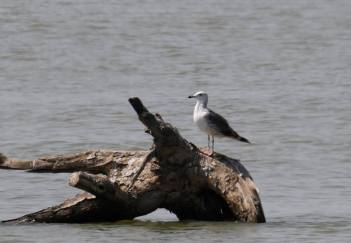 Provisional id of the Lesser Black-backed Gull photographed by Christian Perez along the Pampanga River