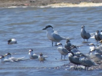 Whiskered Terns, Little Terns, and a Gull-billed Tern