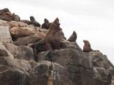 Bruny Island seals - howl
