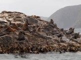 Bruny Island seals - so many of them