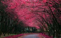 Jardins - Cerejeiras