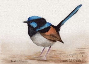 Superb Fairy Wren by Janet M Graham