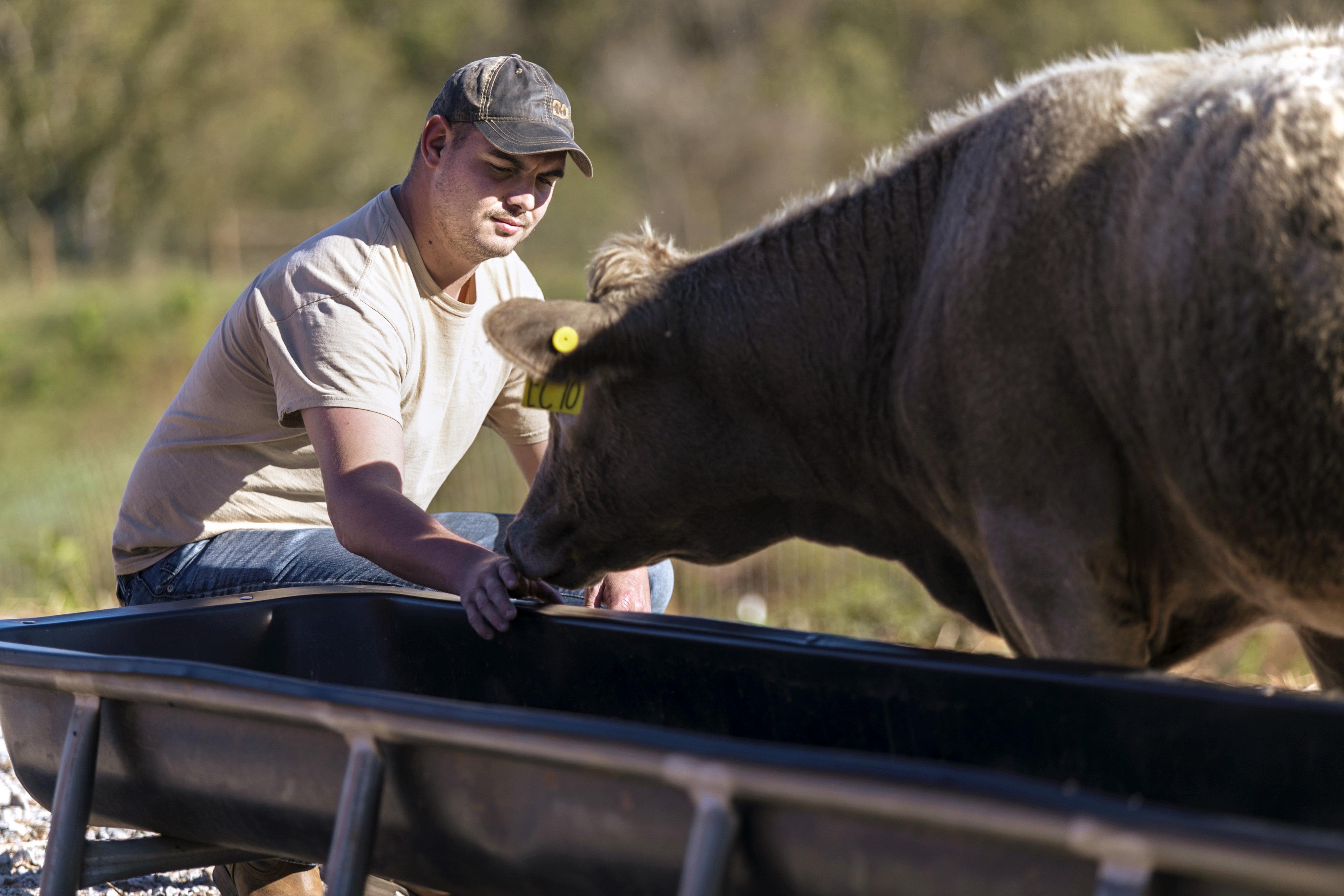 Student feeding a cow