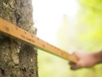 Two hands hold a Biltmore stick lengthwise against a tree trunk to measure its diameter.