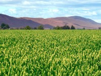 A view of a crop field