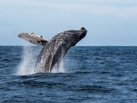 A humpback whale breaches and soars in the air above the ocean. Holly Campbell teaches an ocean law course for Oregon State and uses an open textbook.