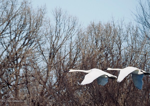 Flying Swans by Lisa Drew Photos