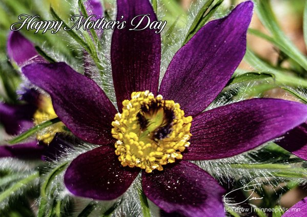 Mothers-Day-Pasque-Flower-eCard-Lisa-Drew-Photos-Minneapolis