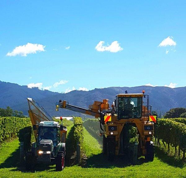 Harvesters at work in the vineyards of Marlborough