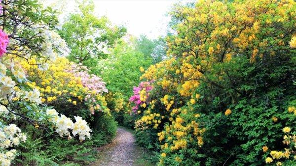 Surrey Hills Rhododendron