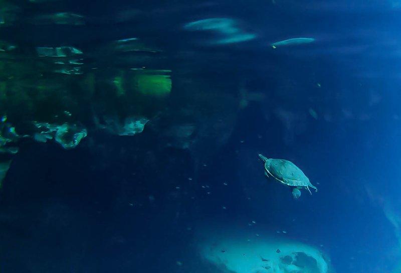 turtle gran cenote