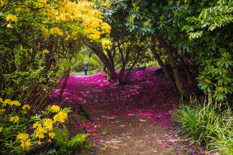 Rhododendron Gardens Leith Hill