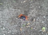 """These Halloween Crabs are """"clackers"""" - the claws make a clickety sound on hard surfaces and in the leaves it sound like there are hundreds of them!"""