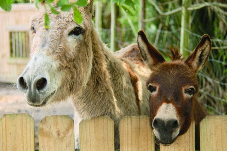 two brown donkeys look over wooden fence