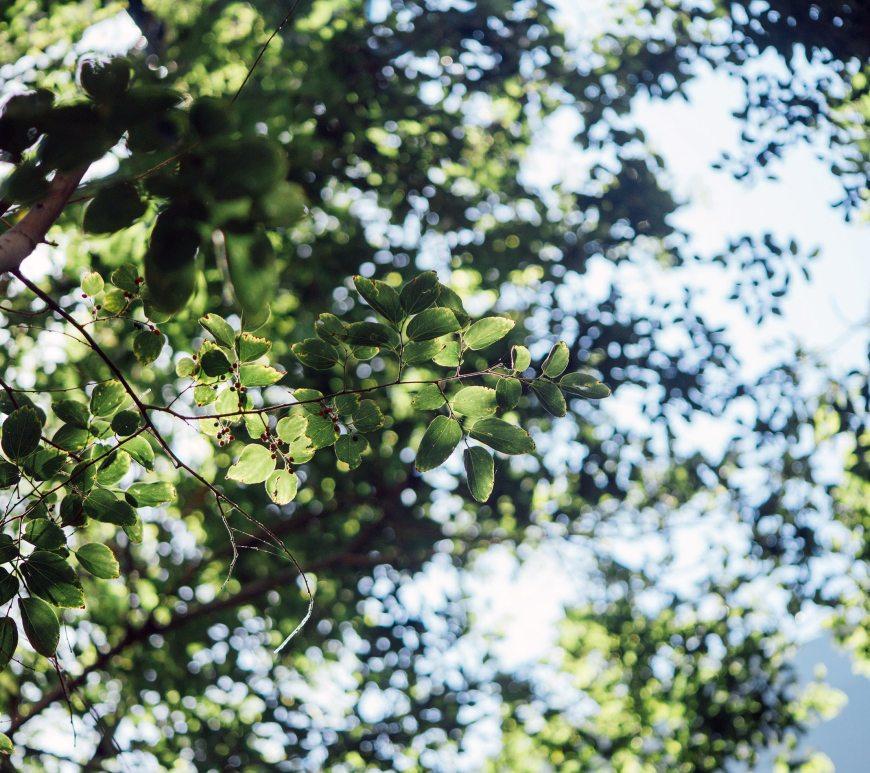 green leaves in trees against blue sky