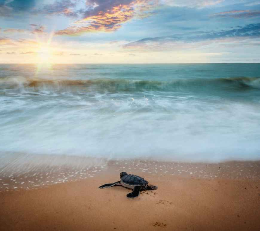 sea turtle hatchling crawling toward ocean