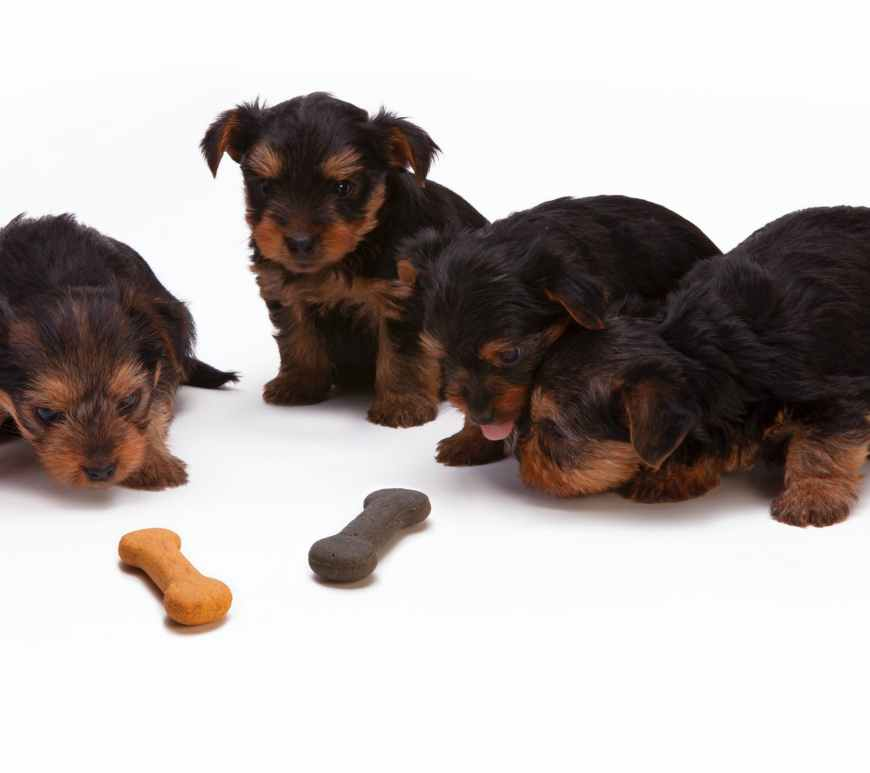 Black and Tan Yorkshire Terrier Puppy eating dog bones