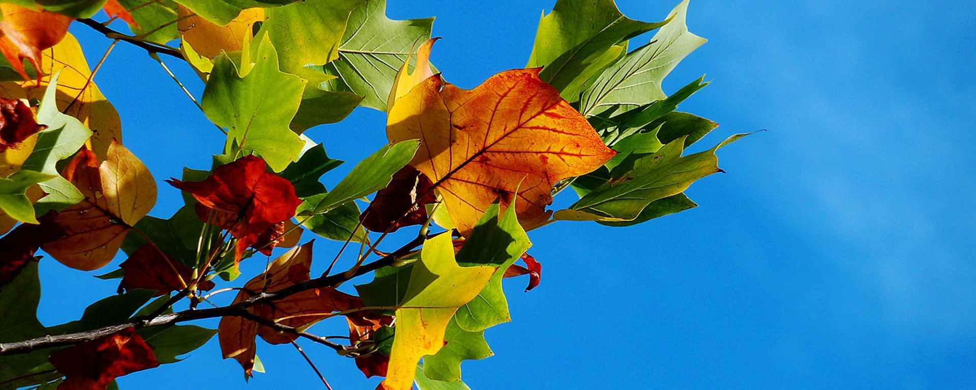 autumn leaves on tree against blue sky