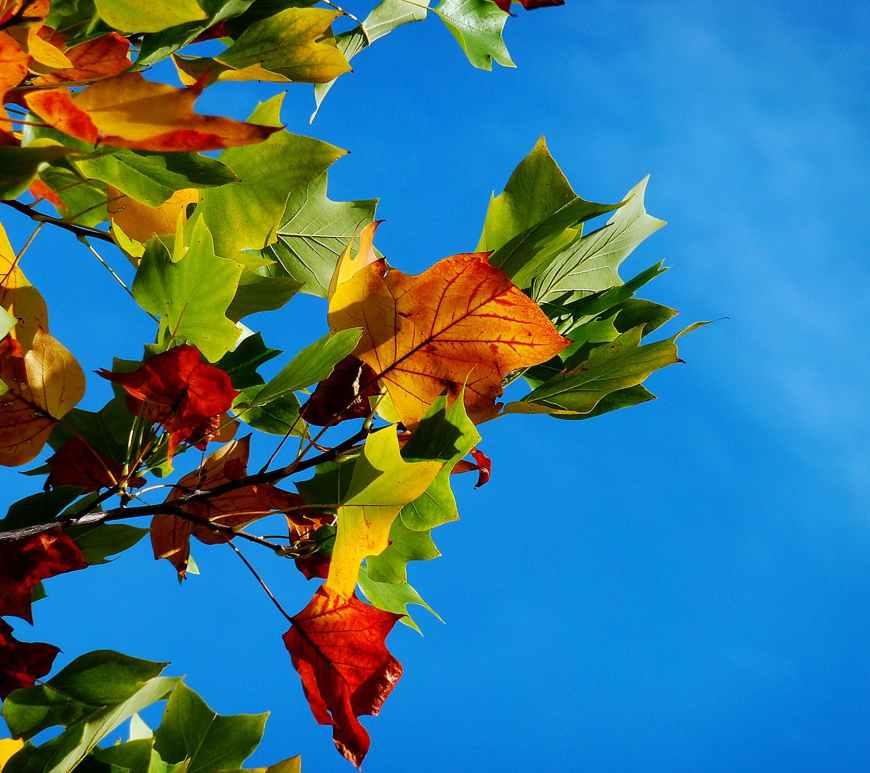 autumn leaves on tree against blue sky