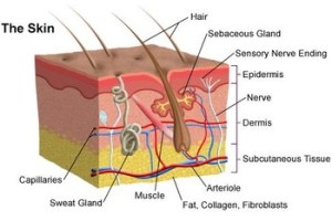 Biology: The Skin  Anatomy Diagram by Science Land | TpT