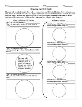 Drawing The Cell Cycle Worksheet By Ian Keith