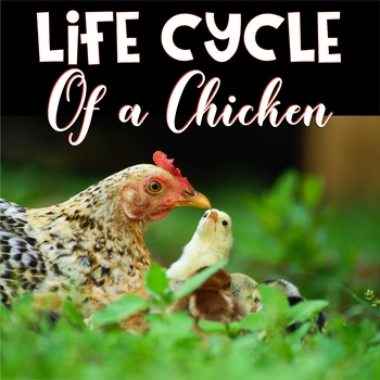 Life Cycle Chicken By Marlie Rose Teachers Pay Teachers