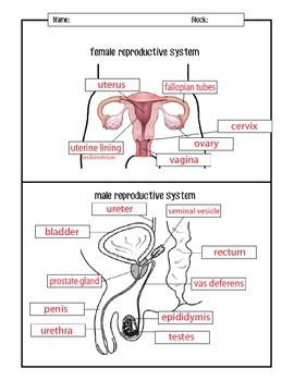 Male and Female Reproductive Systems Diagrams by