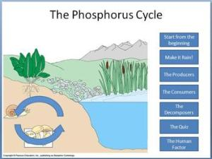 Phosphorus Cycle tutorial by Beverly Biology | Teachers