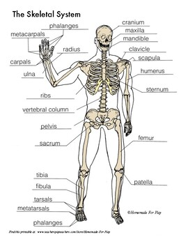 Skeletal System Diagrams for Labeling, With Reference