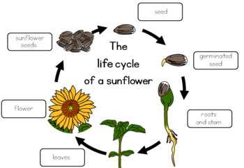 Sunflower Life Cycle Worksheet By Little Blue Orange Tpt