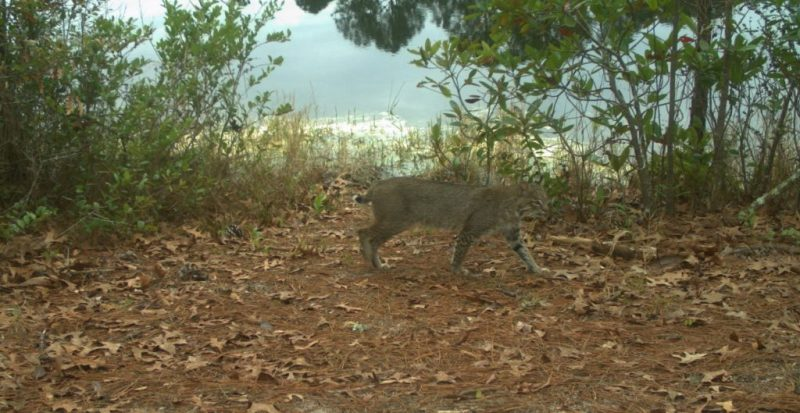 Bobcat walking by lake