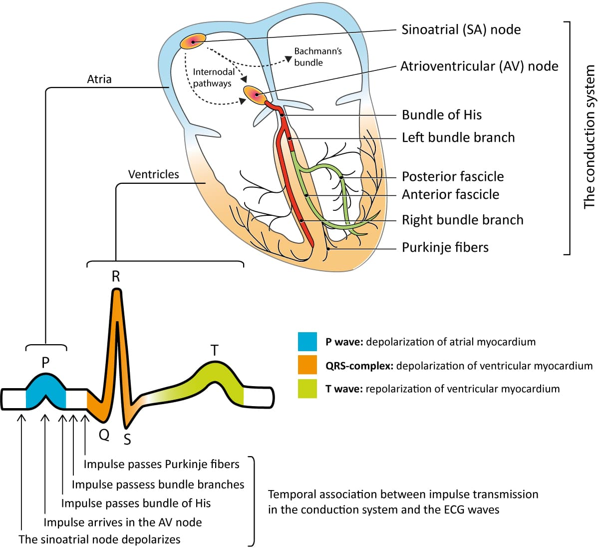 Overview Of The Atria Ventricles Conduction System And